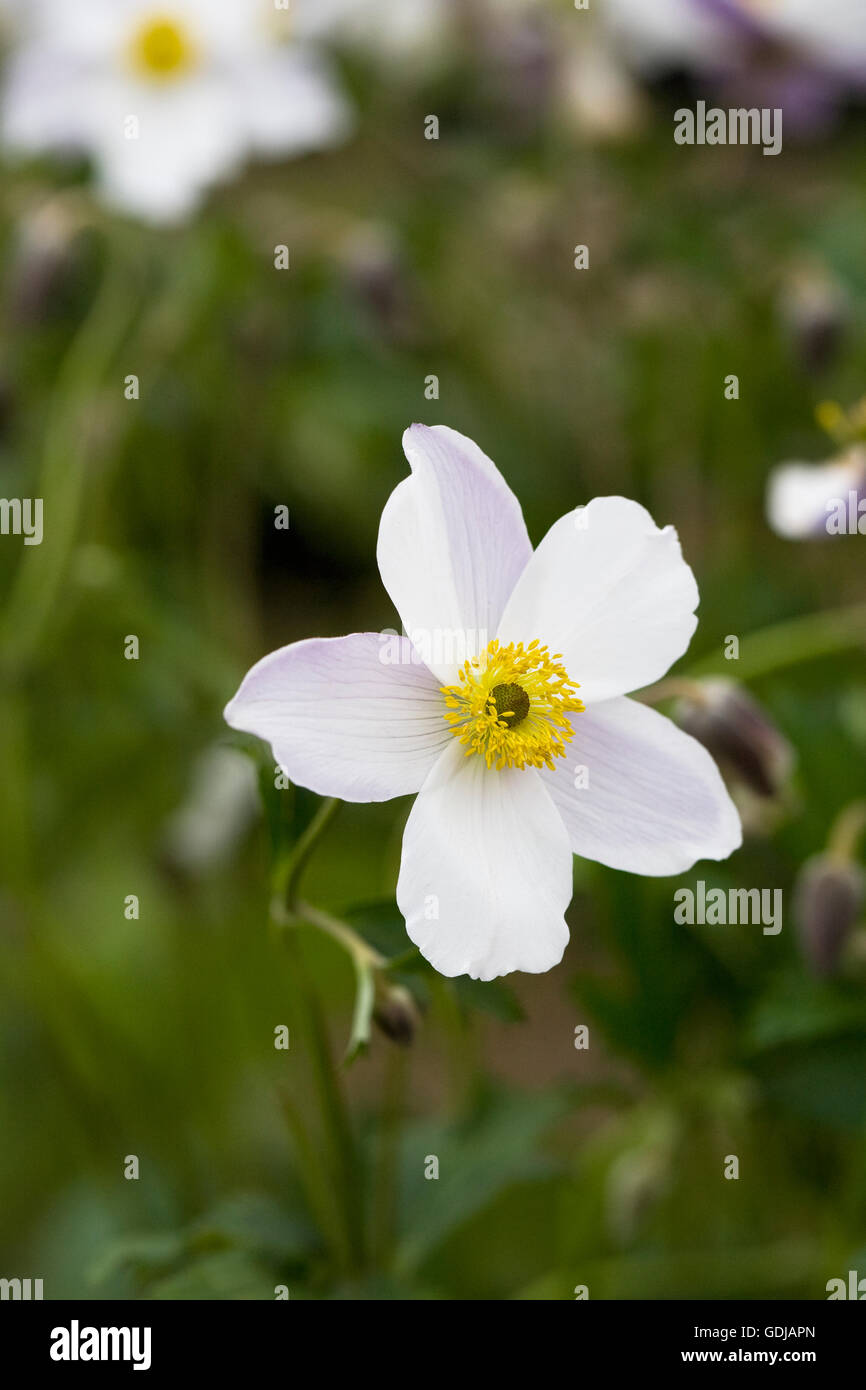 Anemone Flower Blue Yellow Centre Stock Photos Anemone Flower Blue