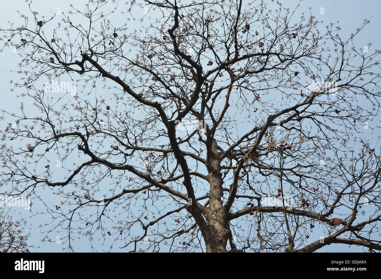 This leafless tree attracted everybody's attraction due to its widespread, dark skeletal branches against the - Stock Image