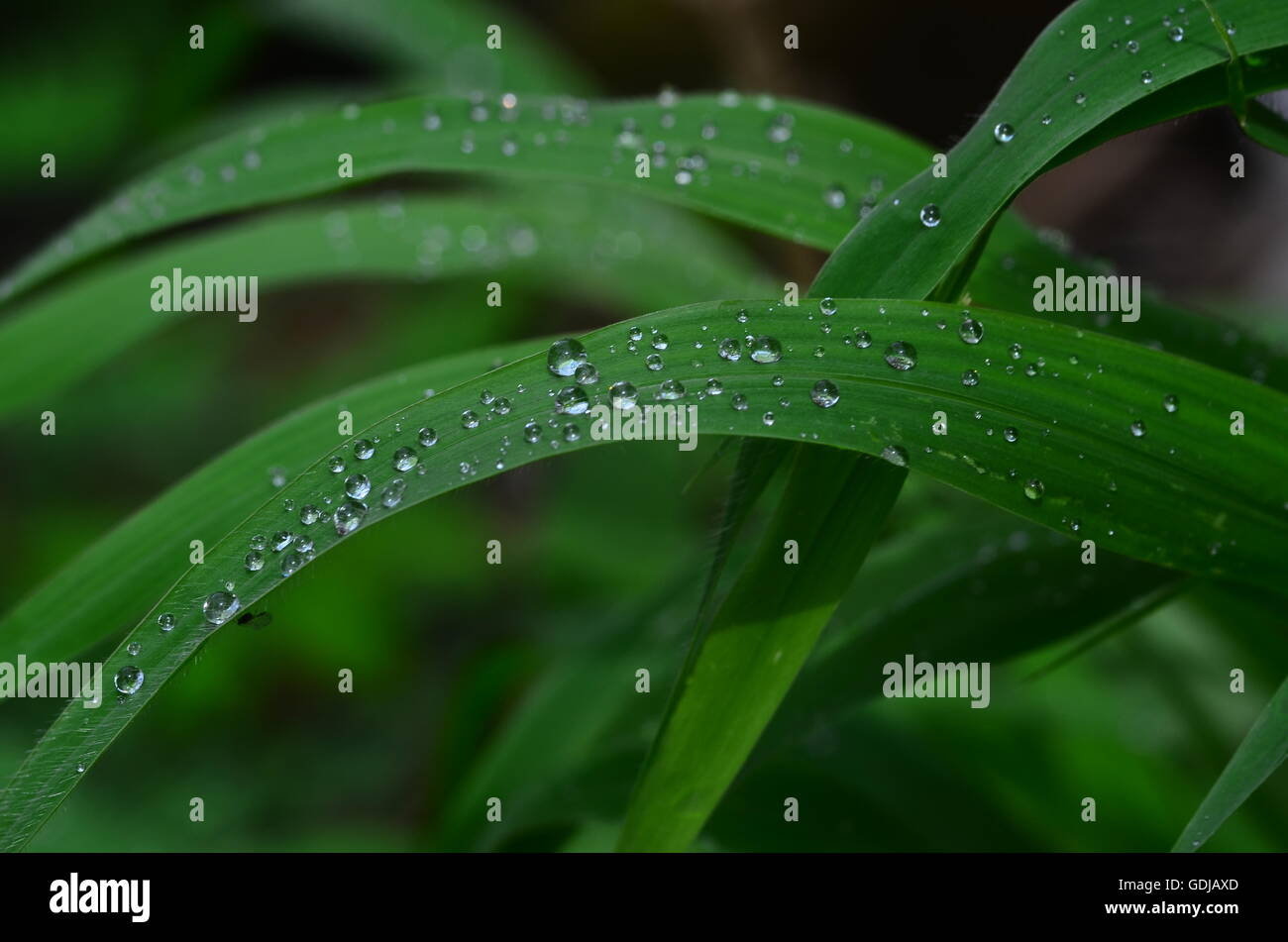 Droplets on a blade of grass during rains look so romantic ! It seems as if,  they, like lovers, are made for each - Stock Image