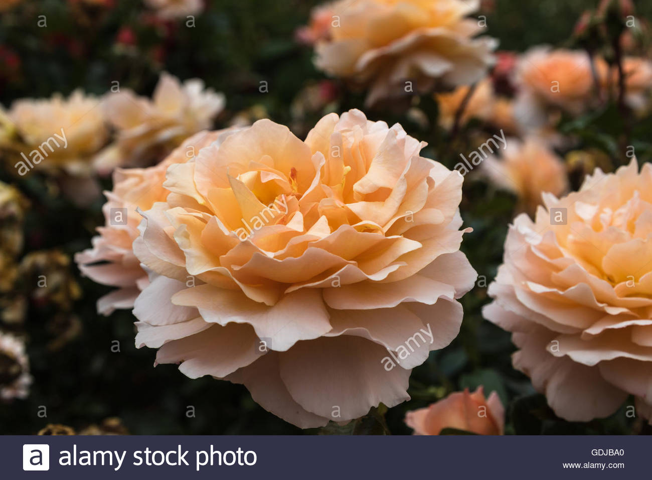 Floribunda rose blossom var. Great Expectations - Stock Image