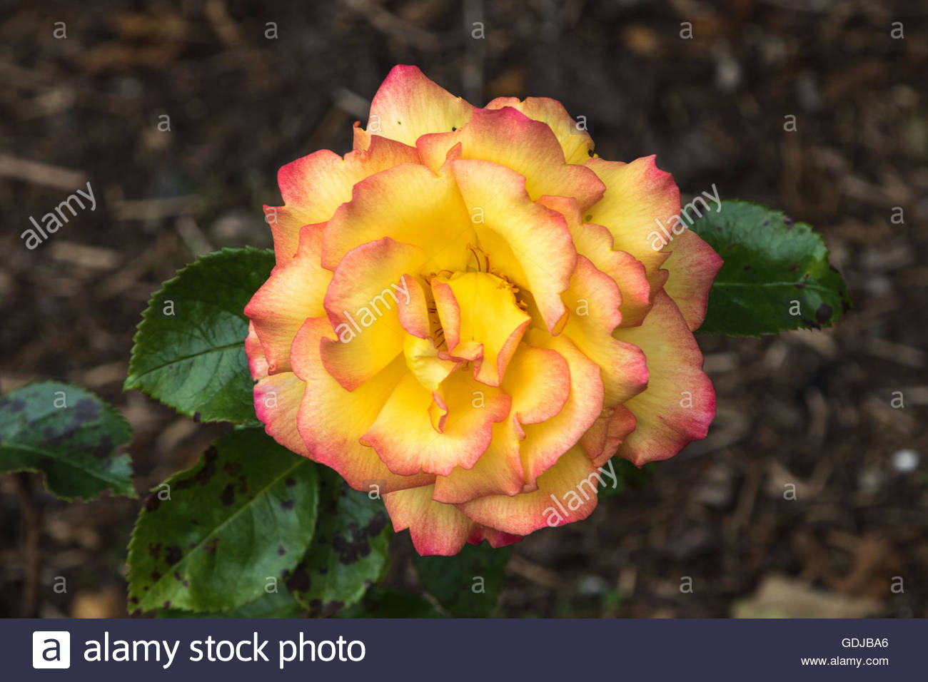 Floribunda rose blossom var. Sheila's Perfume - Stock Image