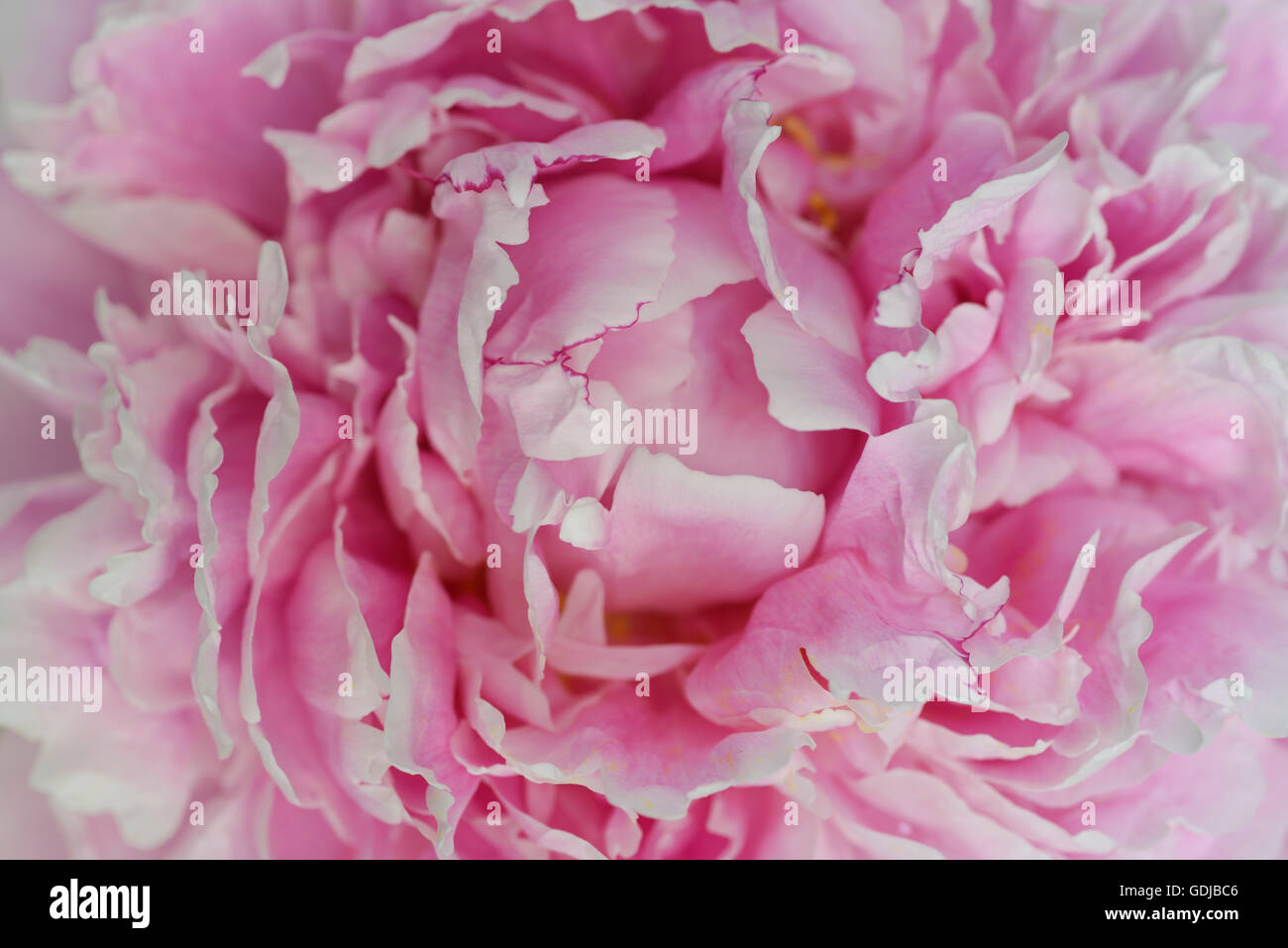 Close up of pink petals of a Peony flower head - Stock Image