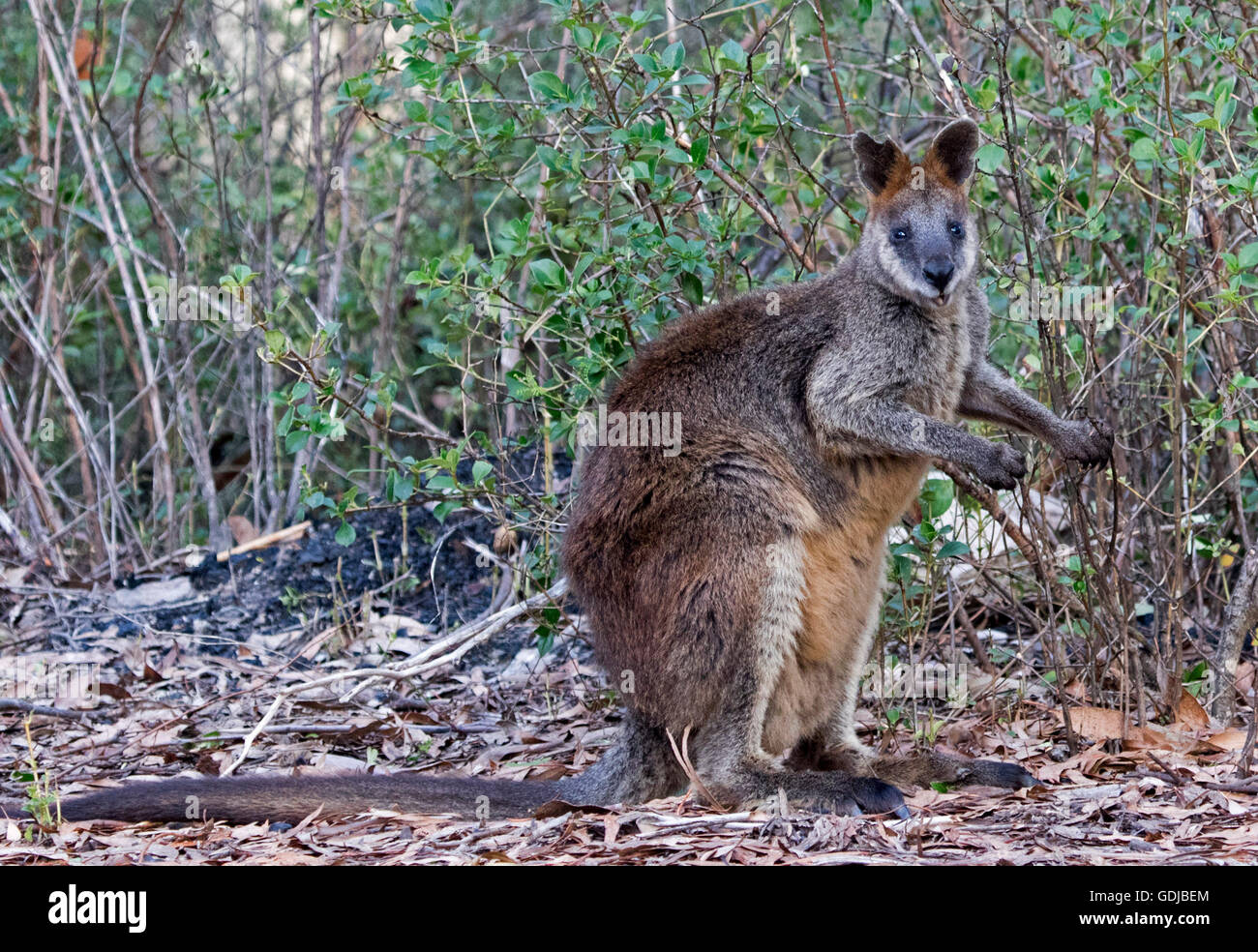 Swamp wallaby, Wallabia bicolour, with thick reddish brown fur, staring at camera, in forest in Mount Kaputar National Stock Photo