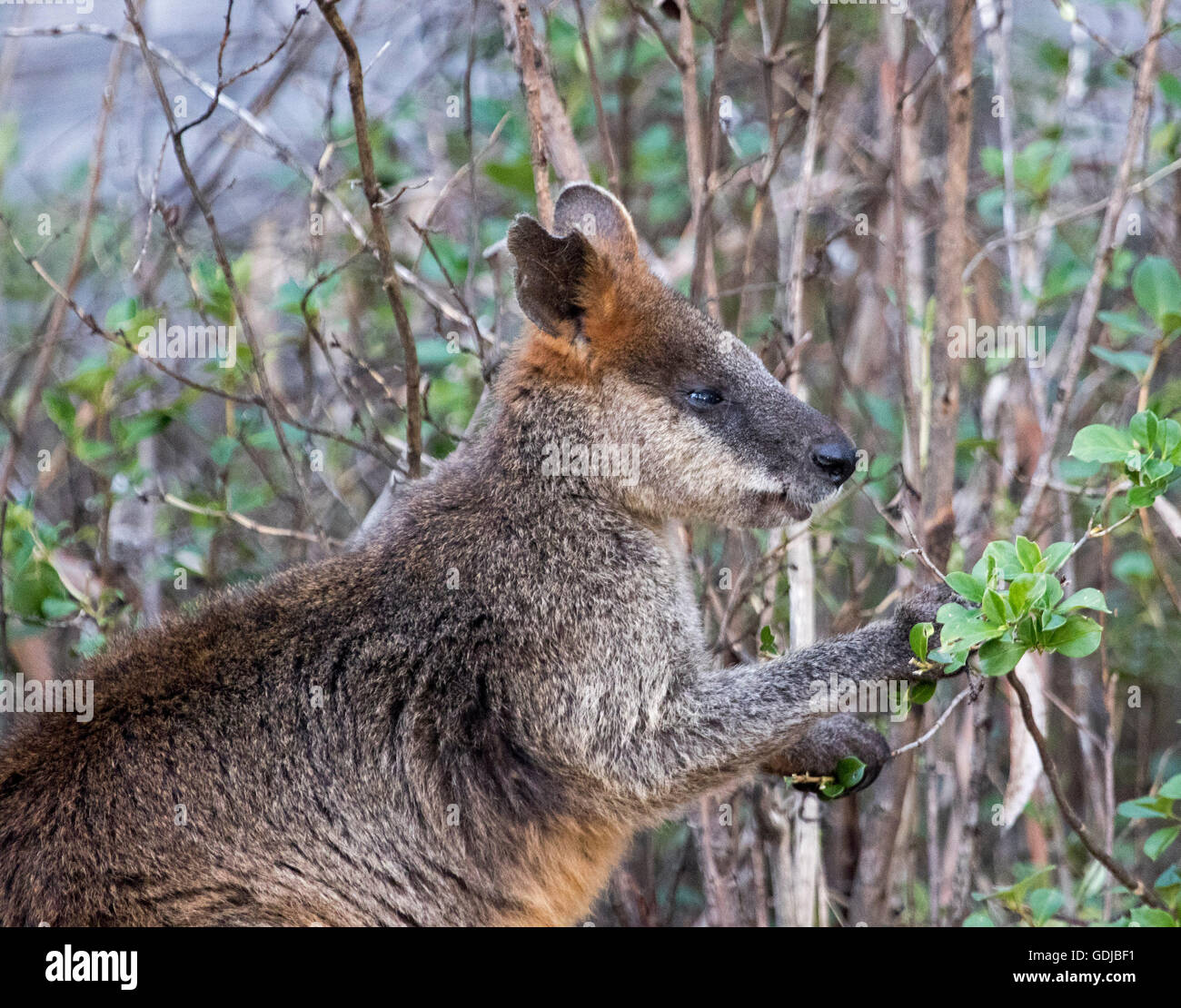 Swamp wallaby, Wallabia bicolour, in the wild feeding on leaves of native shrub in forest in Mount Kaputar National Stock Photo