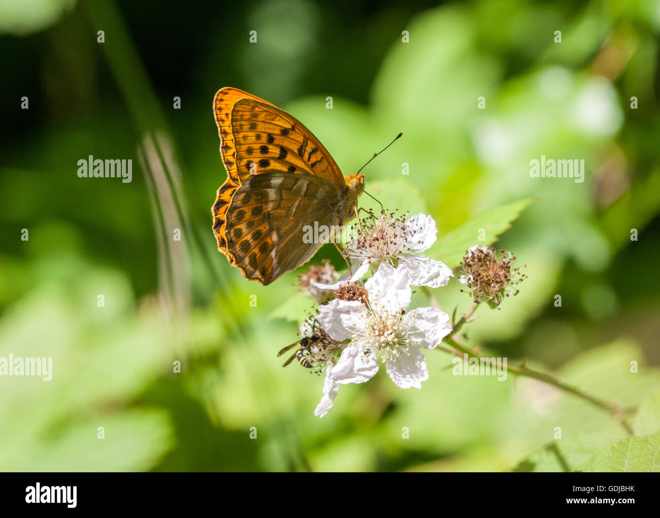 Silver-washed Fritillary (Argynnis paphia ) butterfly, in Fermyn Woods ,Brigstock country park ,Northampton ,England - Stock Image