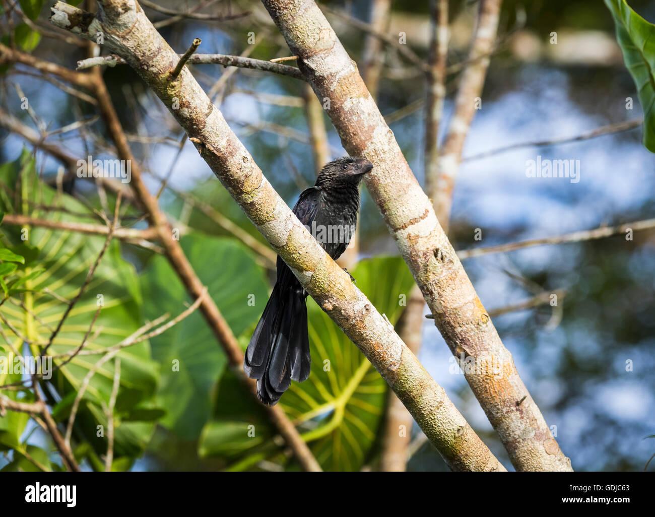 Smooth-billed ani (Crotophaga ani), Amazonian tropical rain forest at La Selva lodge on the Napo River, Ecuador, - Stock Image