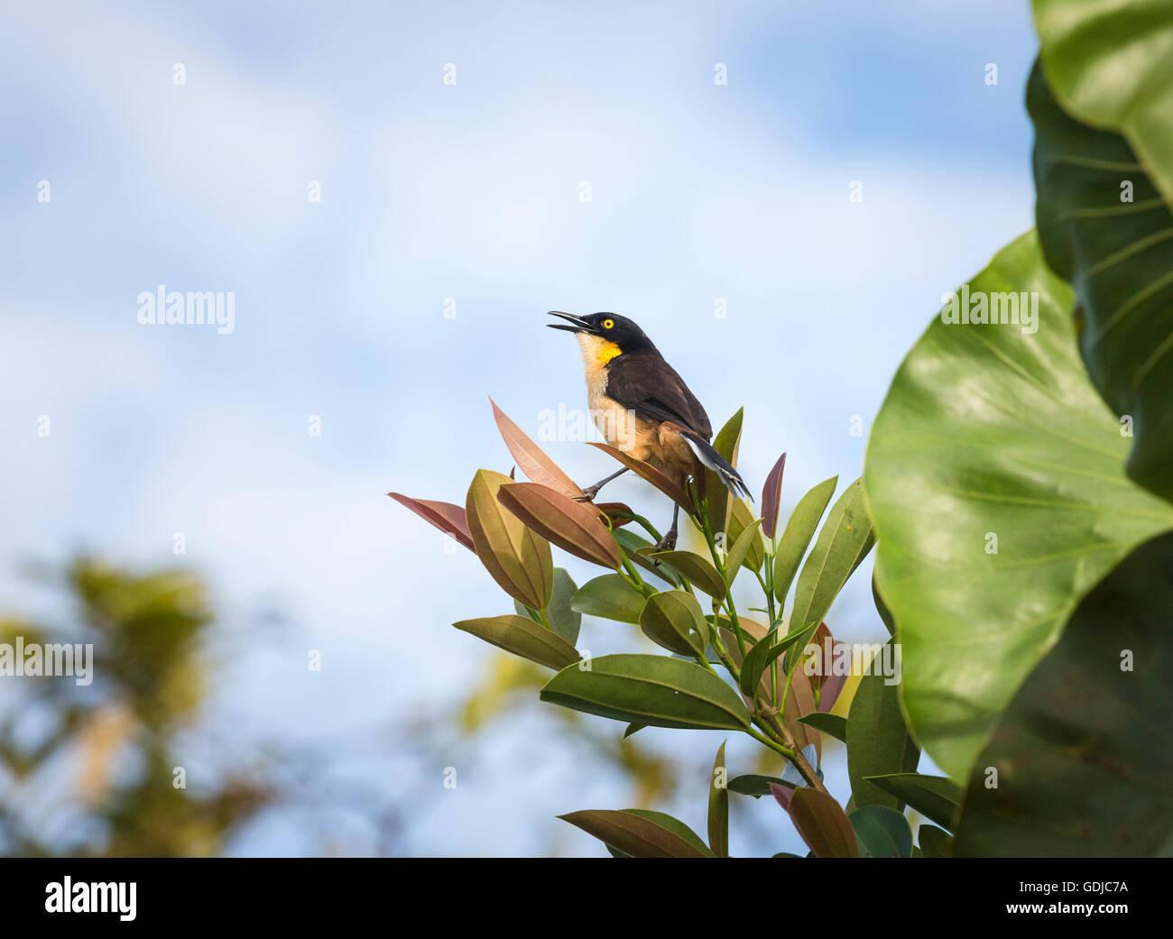 Black-capped donacobius (Donacobius atricapilla), Amazonian tropical rain forest at La Selva lodge on the Napo River, Stock Photo