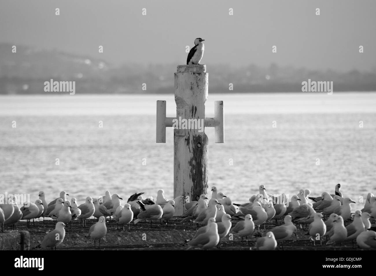 little pied cormorant perched on a bollard - Stock Image