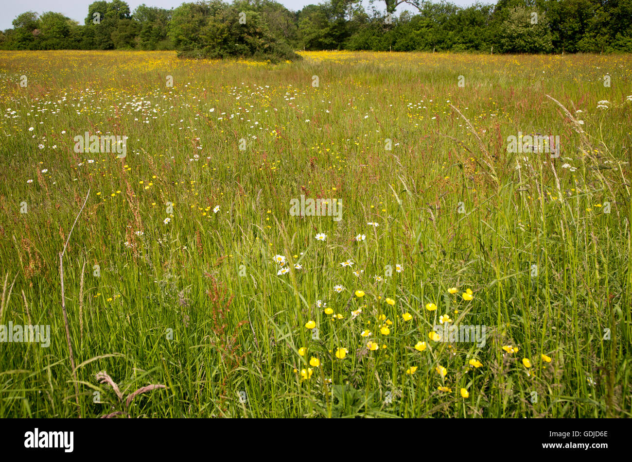 Wildflowers on Mellis Common the largest area of unfenced Medieval common land in England, Mellis, Suffolk, England, Stock Photo