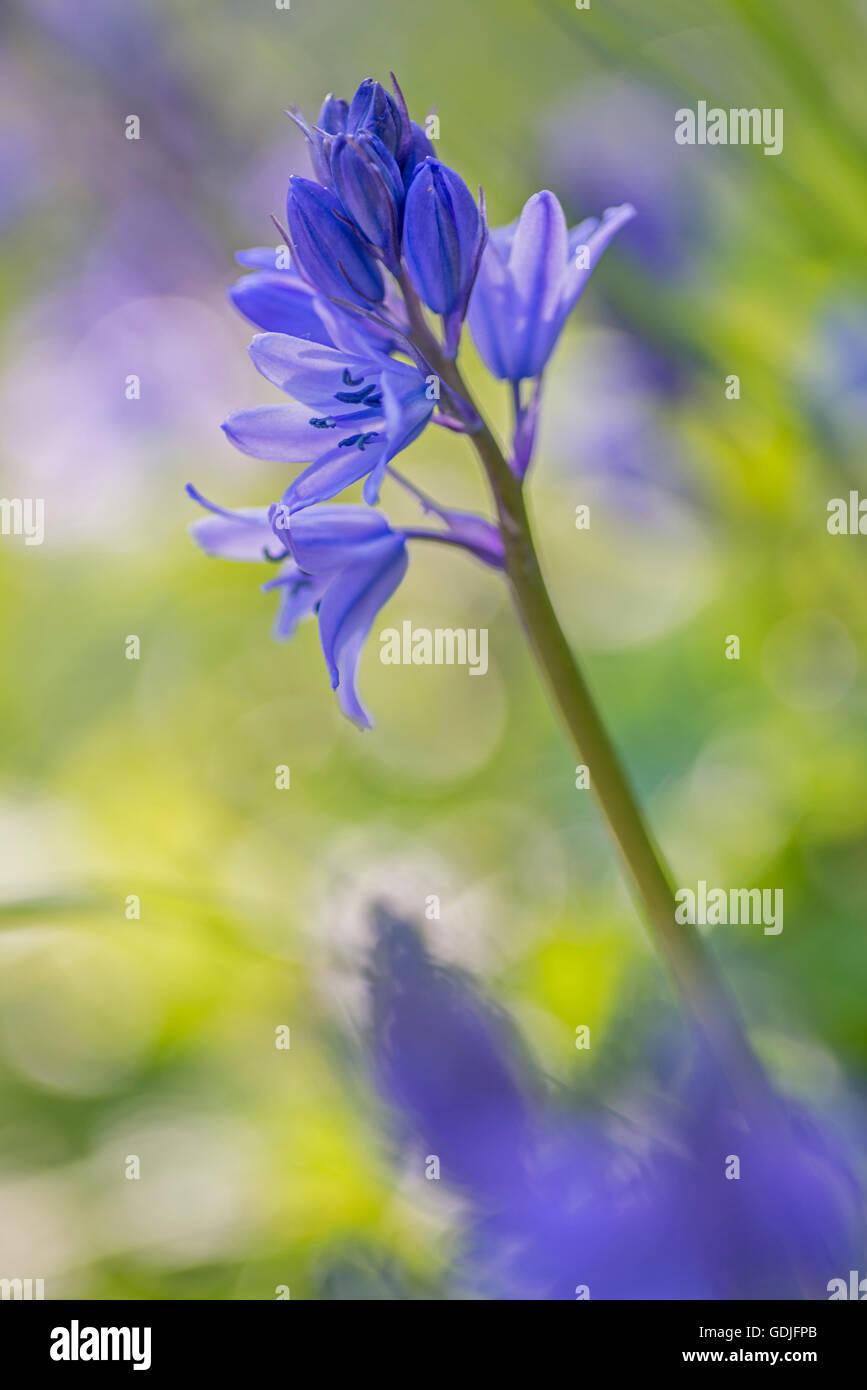 Bluebells growing in an English wood, Northumberland, England Stock Photo