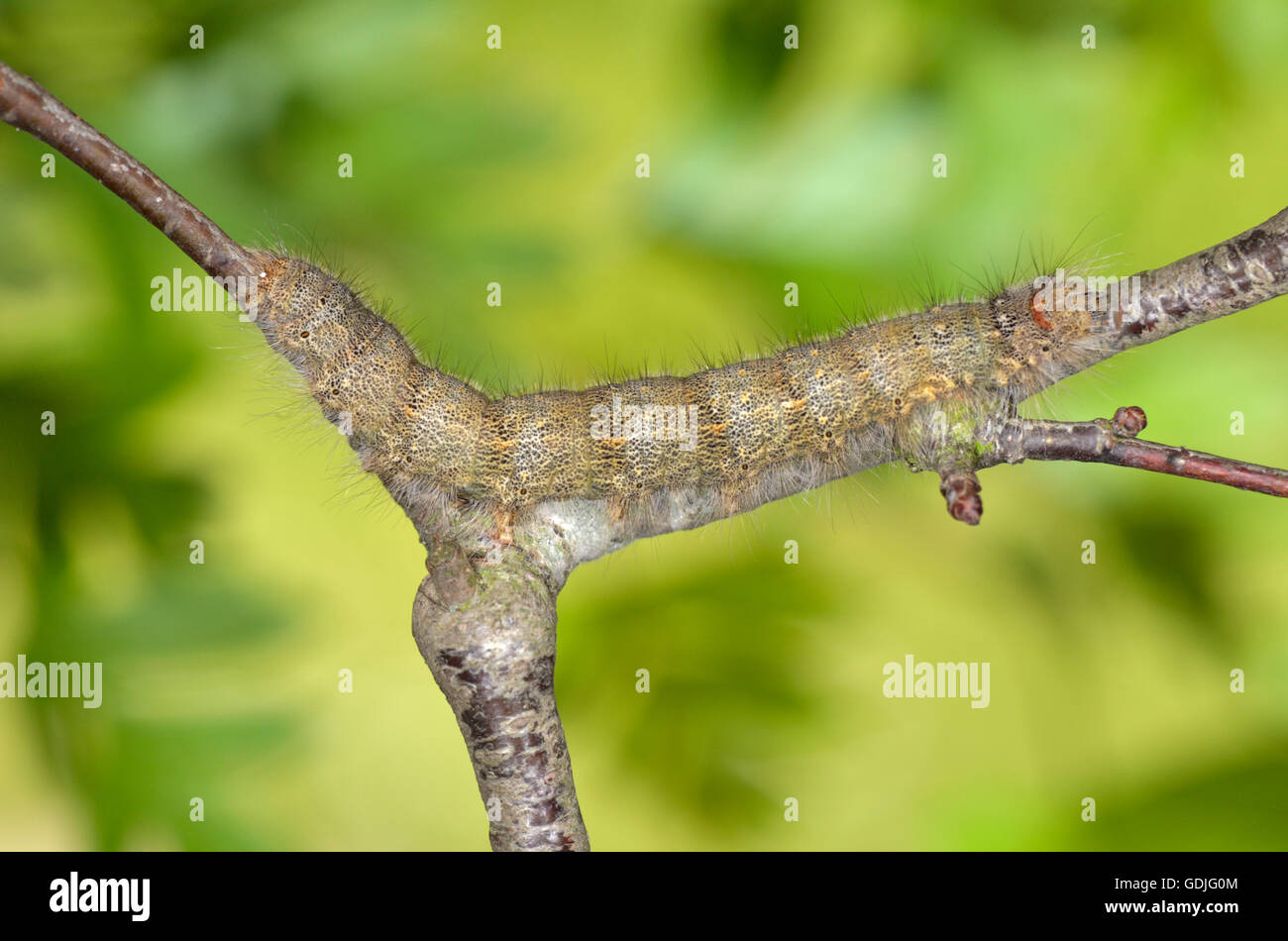 December Moth - Poecilocampa populi - larva. - Stock Image