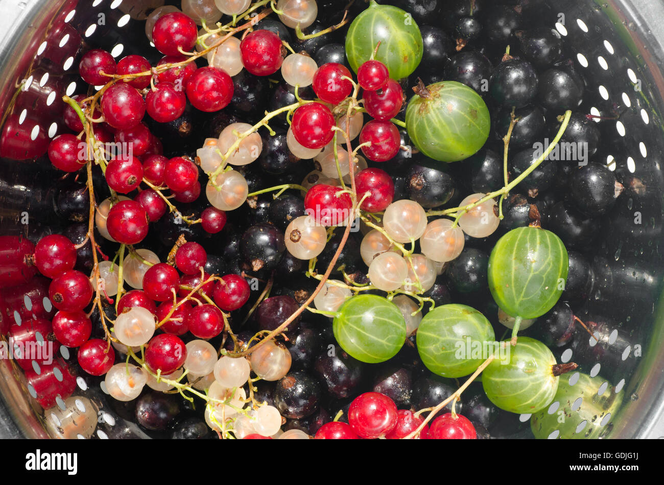 mixed currant berries in colander - Stock Image