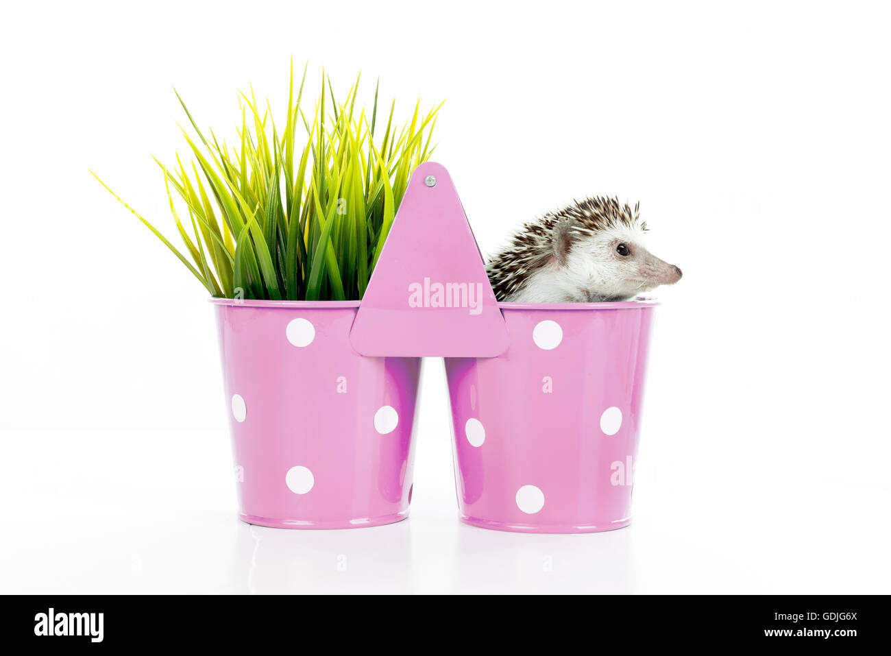 Cute hedgehog inside a vase isolated in white - Stock Image