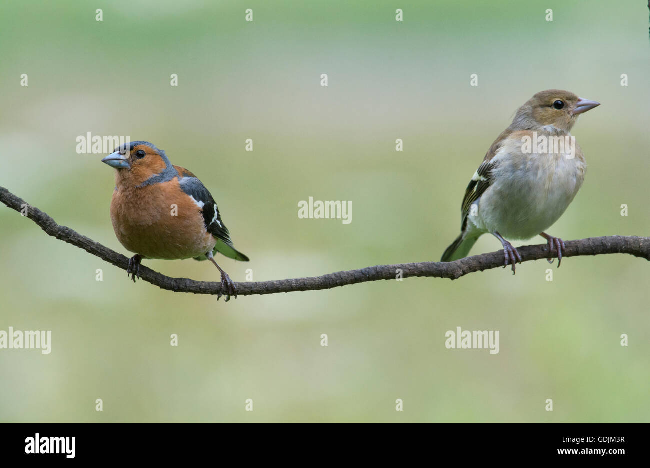 Eurasian Chaffinches - Stock Image