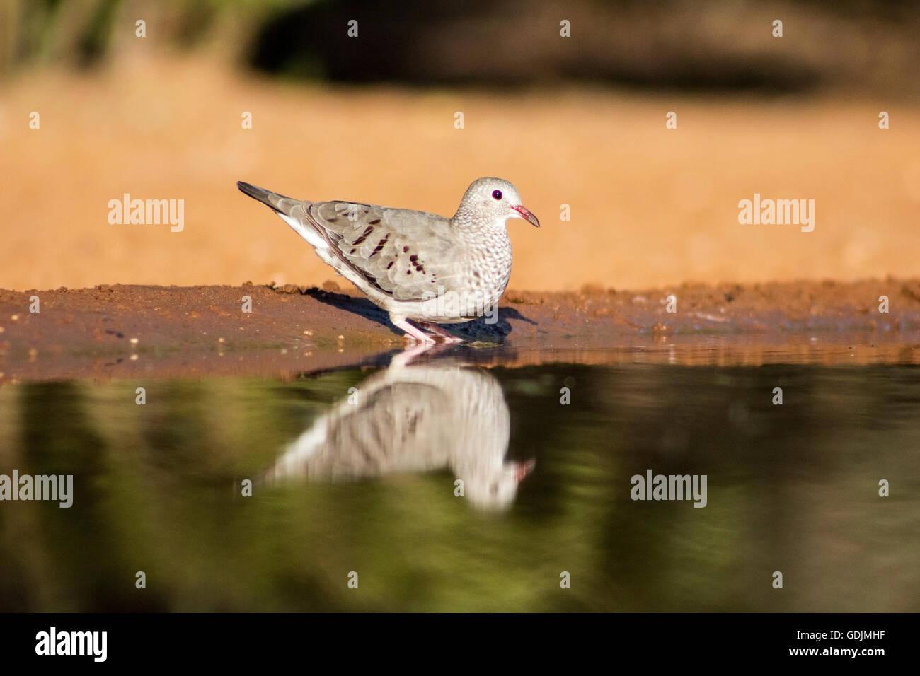 Common Ground-dove (Columbina passerina)  - Santa Clara Ranch, McCook, Texas, USA - Stock Image
