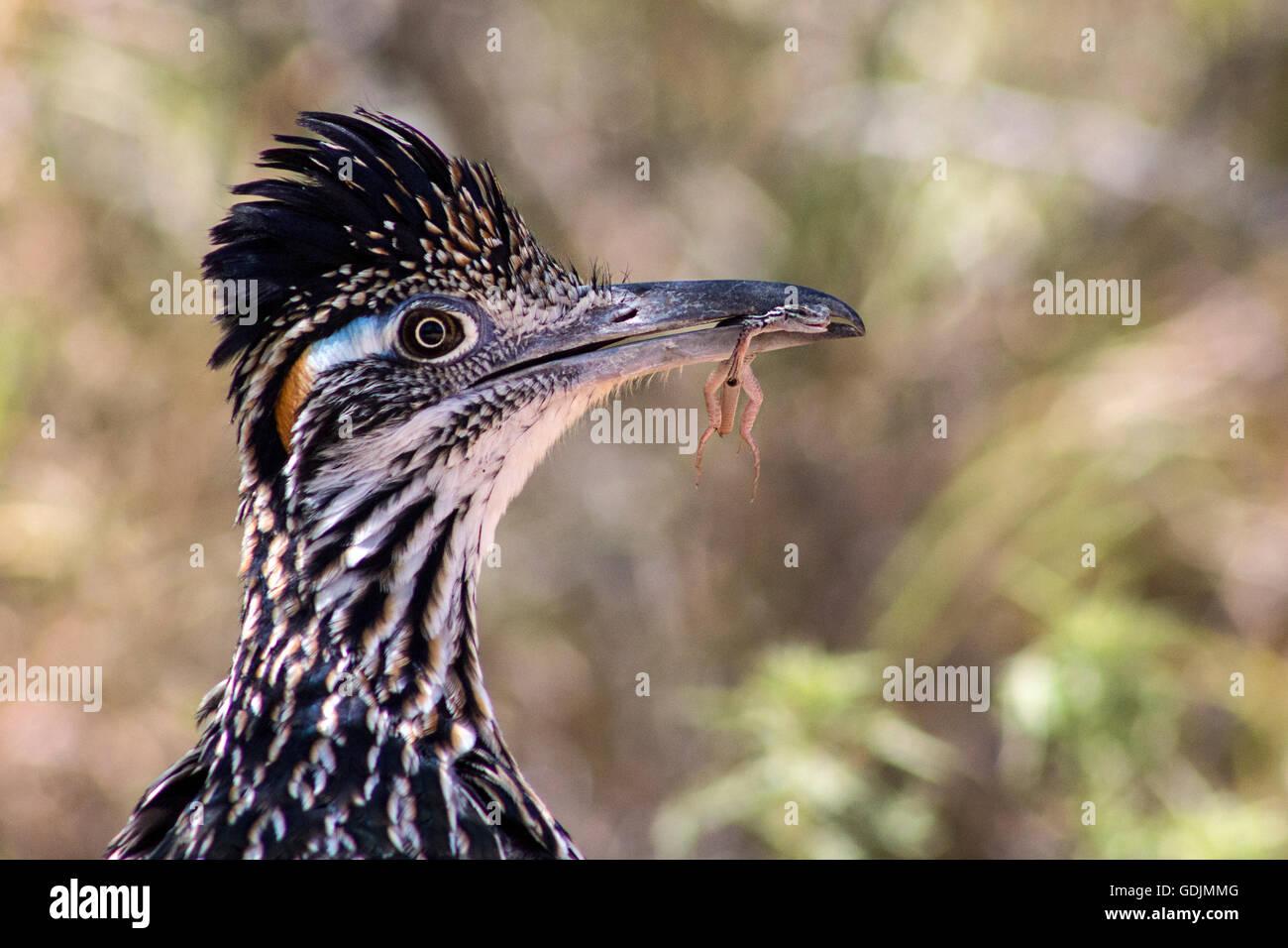 Greater Roadrunner (Geococcyx californianus) - Santa Clara Ranch, McCook, Texas, USA - Stock Image