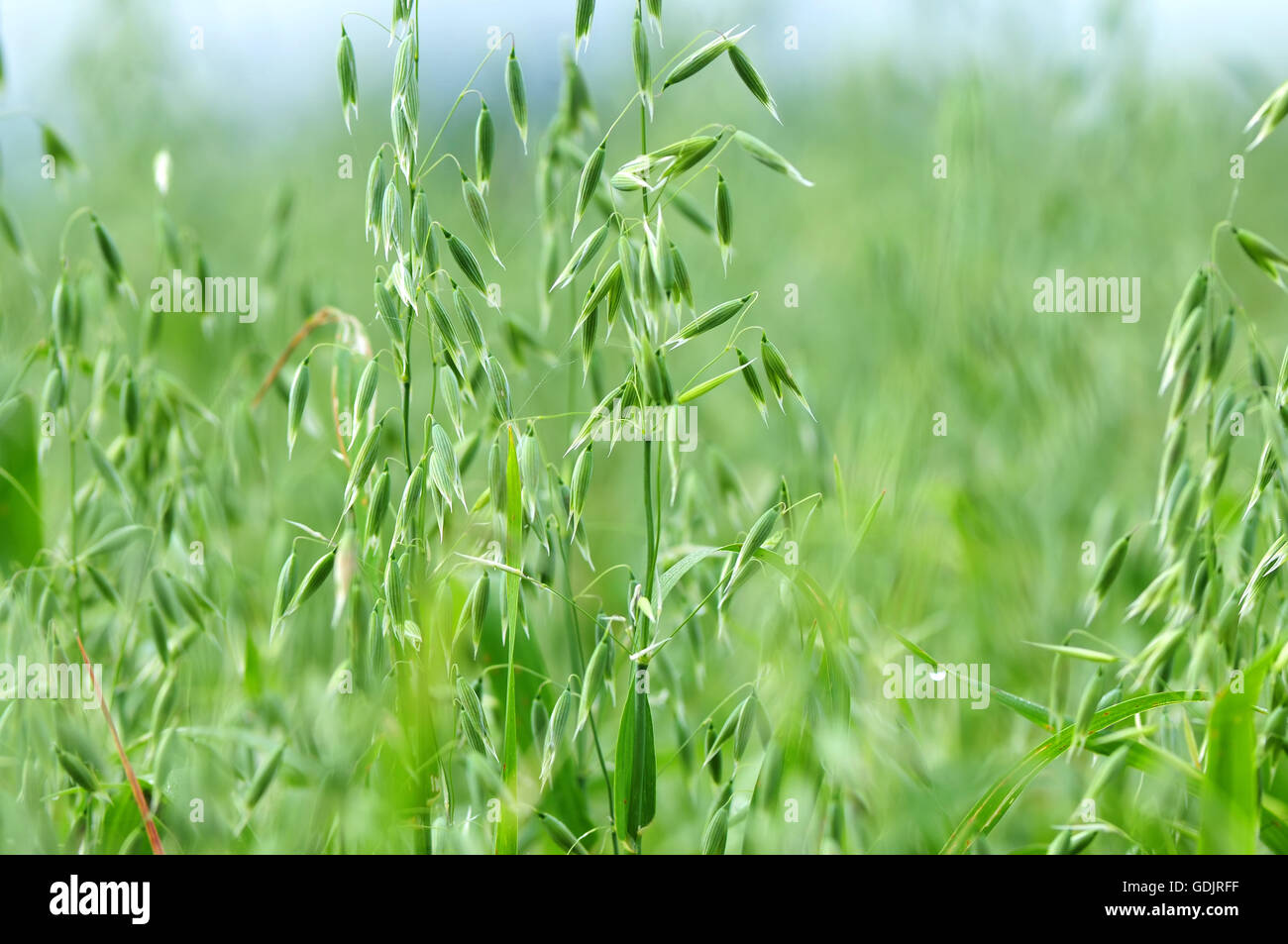 Close up photo of a oat plant - Stock Image