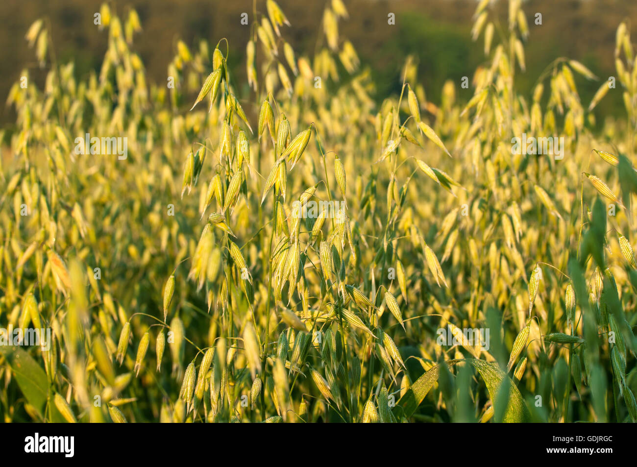 Close up photo of a oat field - Stock Image