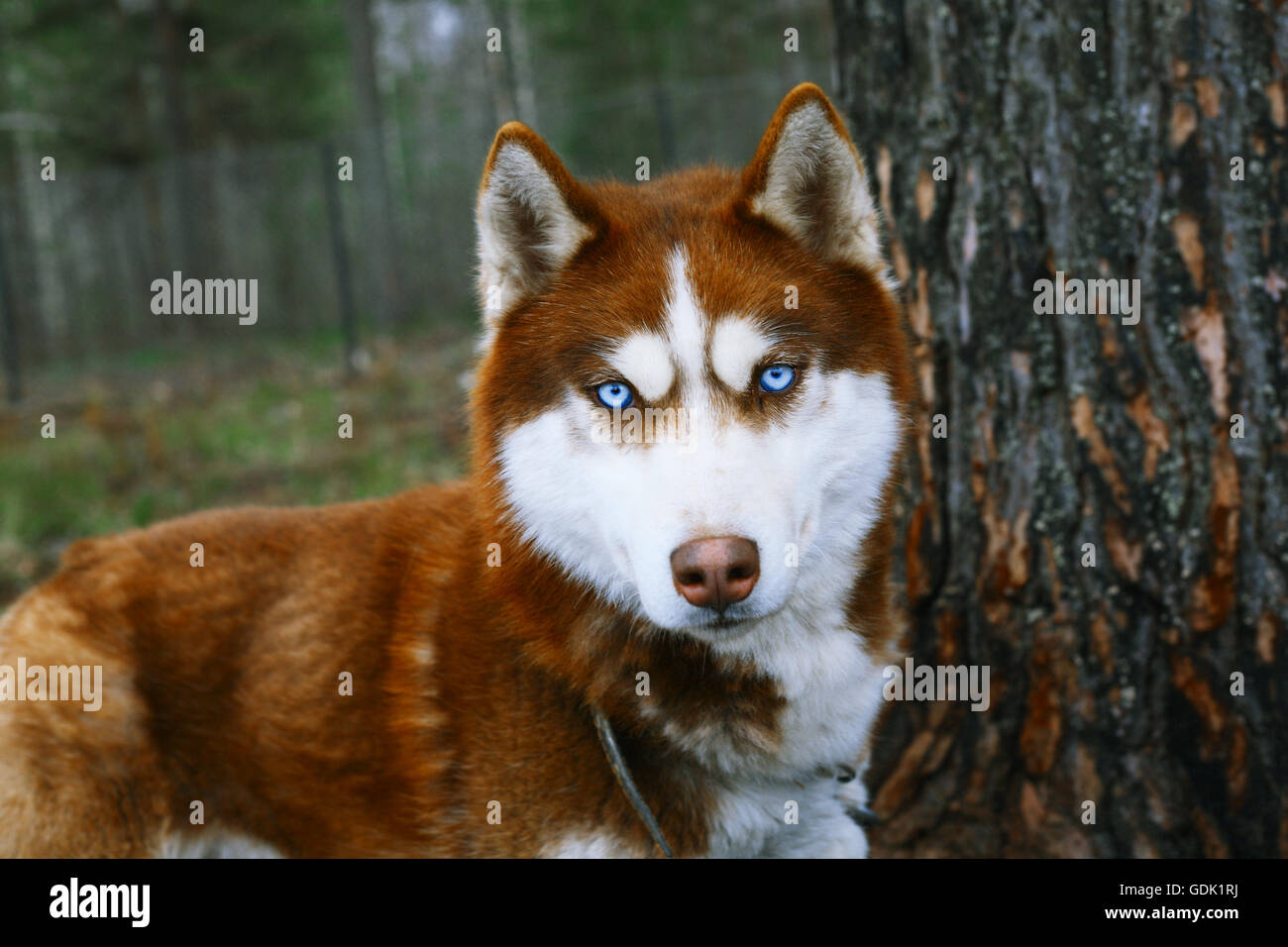 Red Husky - Dog with blue eyes. - Stock Image