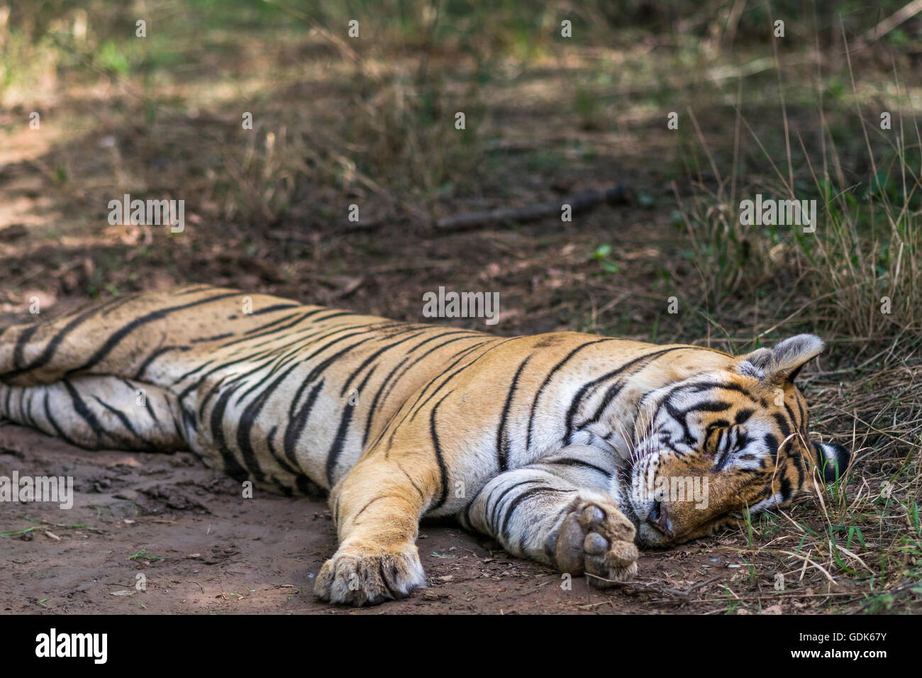 Bengal tiger male resting near water holes in monsoon at Ranthambhore, forest. [Panthera Tigris] - Stock Image