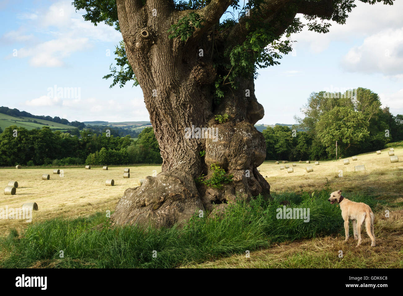 Herefordshire, UK. A huge ancient ash tree (fraxinus) in a recently mown hay field, with a lurcher dog - Stock Image