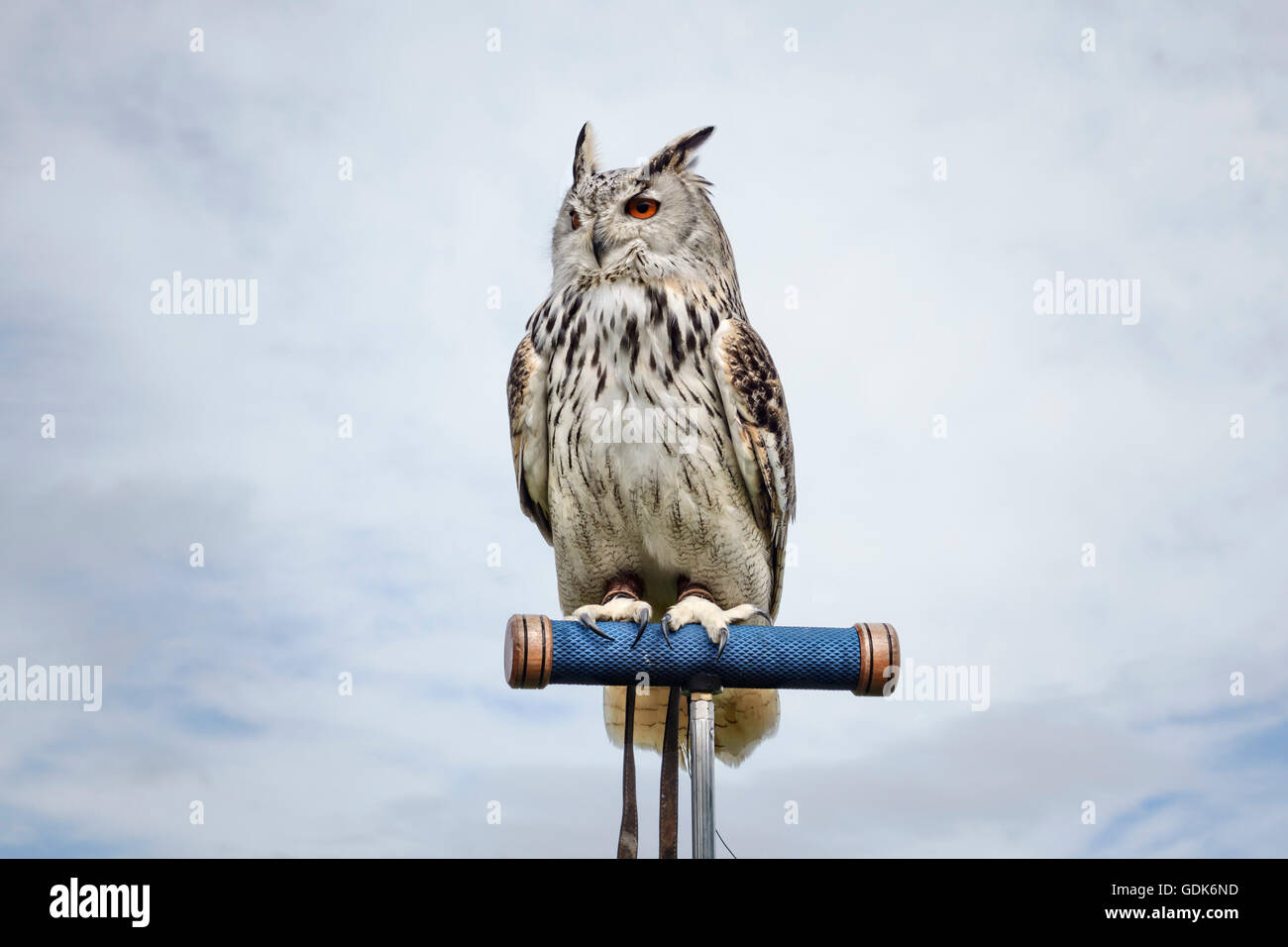 A Siberian Eagle Owl (Bubo bubo sibiricus) at a falconry display in the UK. - Stock Image