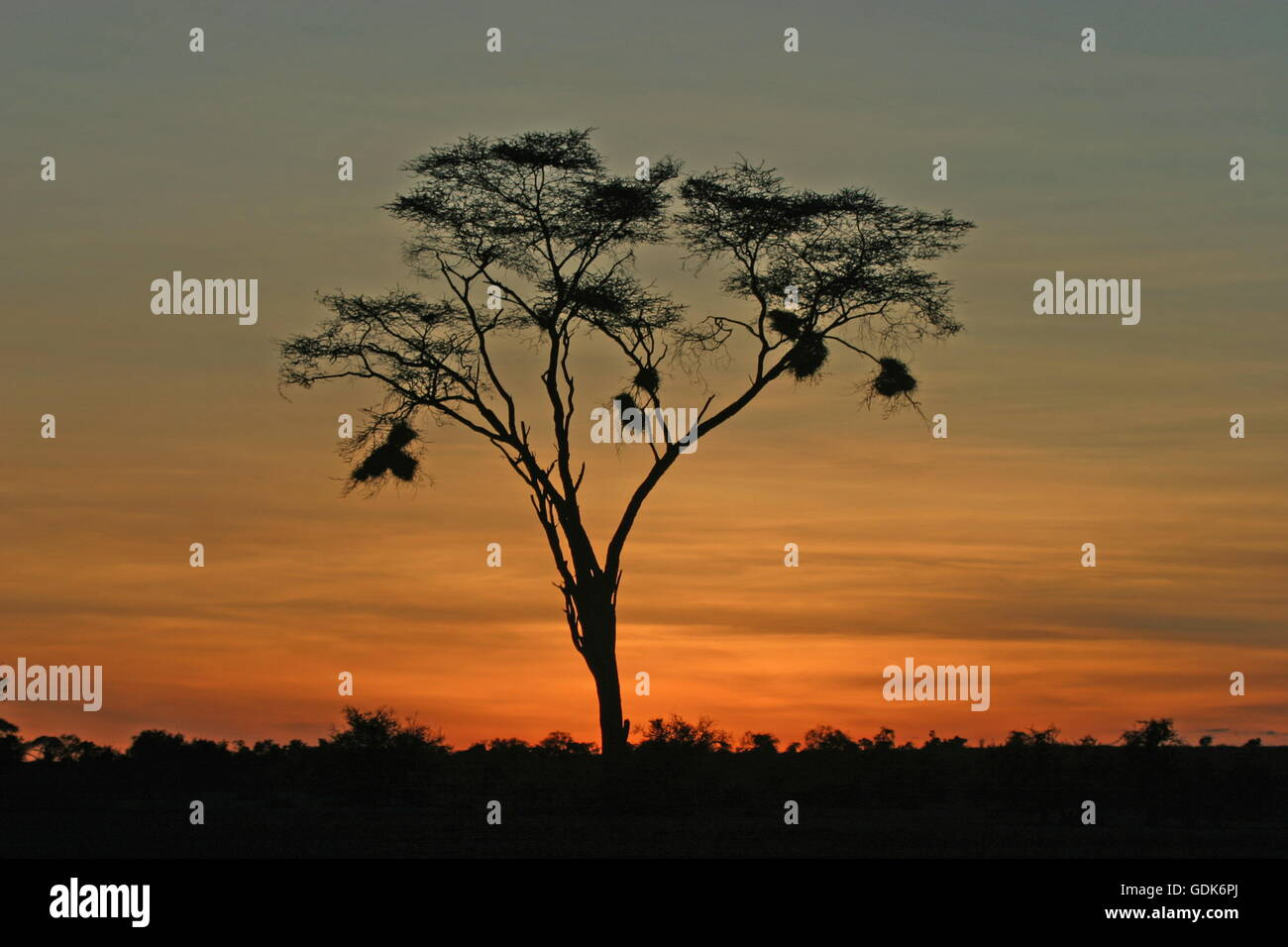 geography / travel, Kenya, landscapes, landscape with Umbrella Thorn Acacia, queleas nest, Samburu region, sunset, - Stock Image