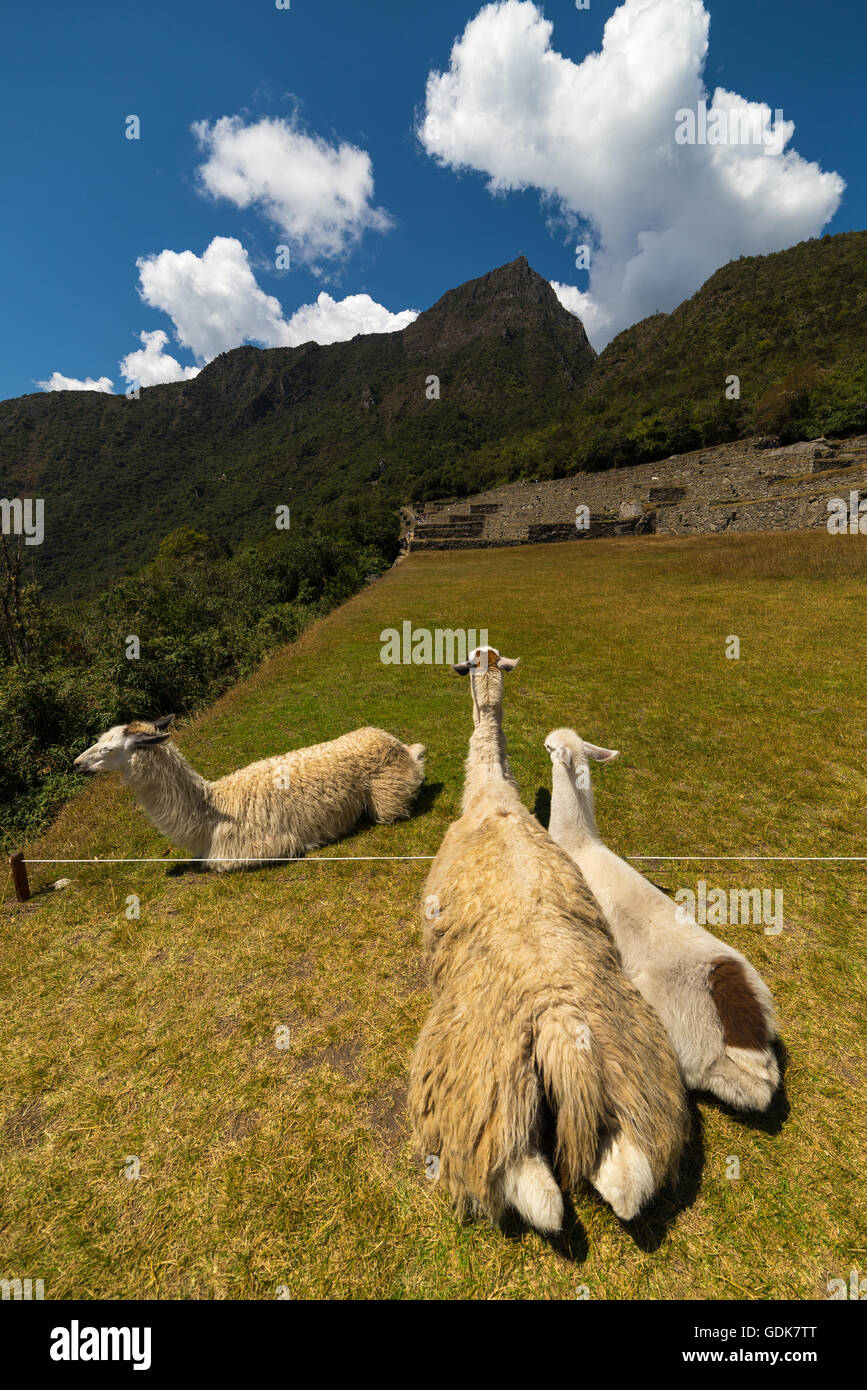 Llamas grazing and lying down on the sacred grass of Machu Picchu. Wide angle view with scenic sky. - Stock Image