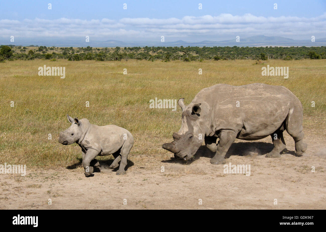 White rhinoceros with calf, Ol Pejeta Conservancy, Kenya - Stock Image