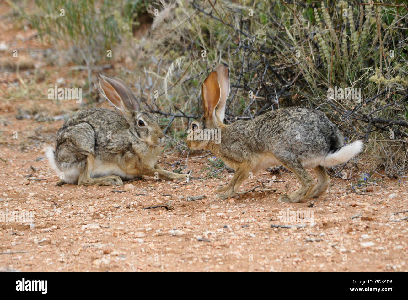 African hares (Cape hares) courting, Samburu Game Reserve, Kenya - Stock Image