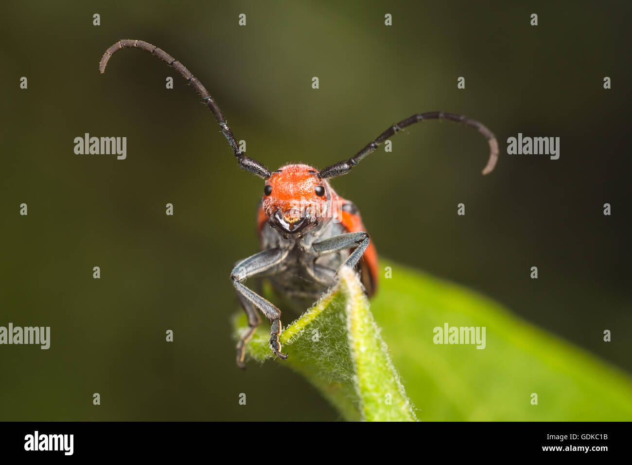A frontal view of a Red Milkweed Beetle (Tetraopes tetrophthalmus) perching on a Common Milkweed plant leaf. - Stock Image