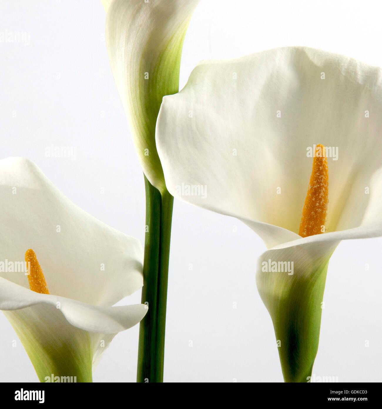 White arums (Araceae) - Stock Image