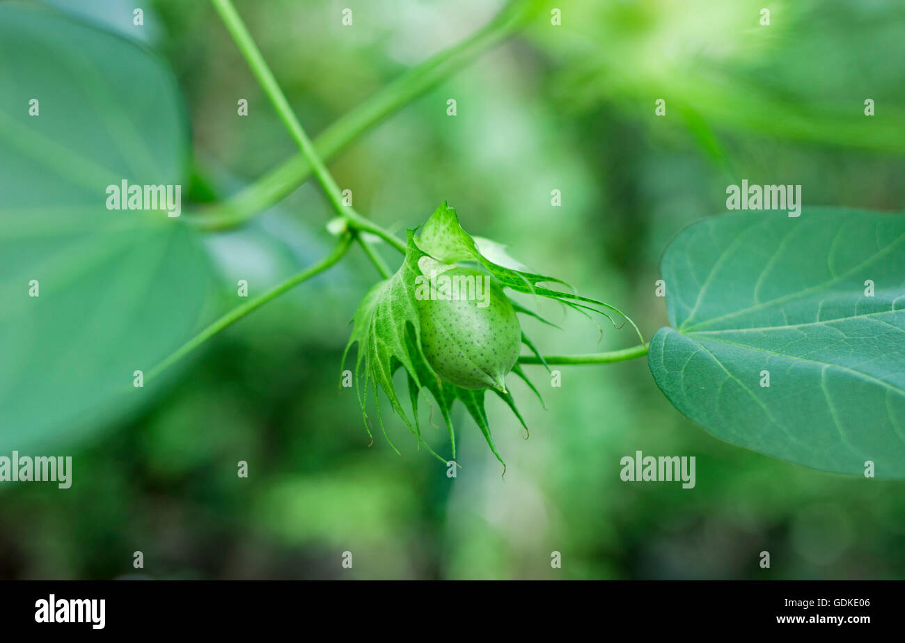 Cotton flower buds that are green in the garden. - Stock Image