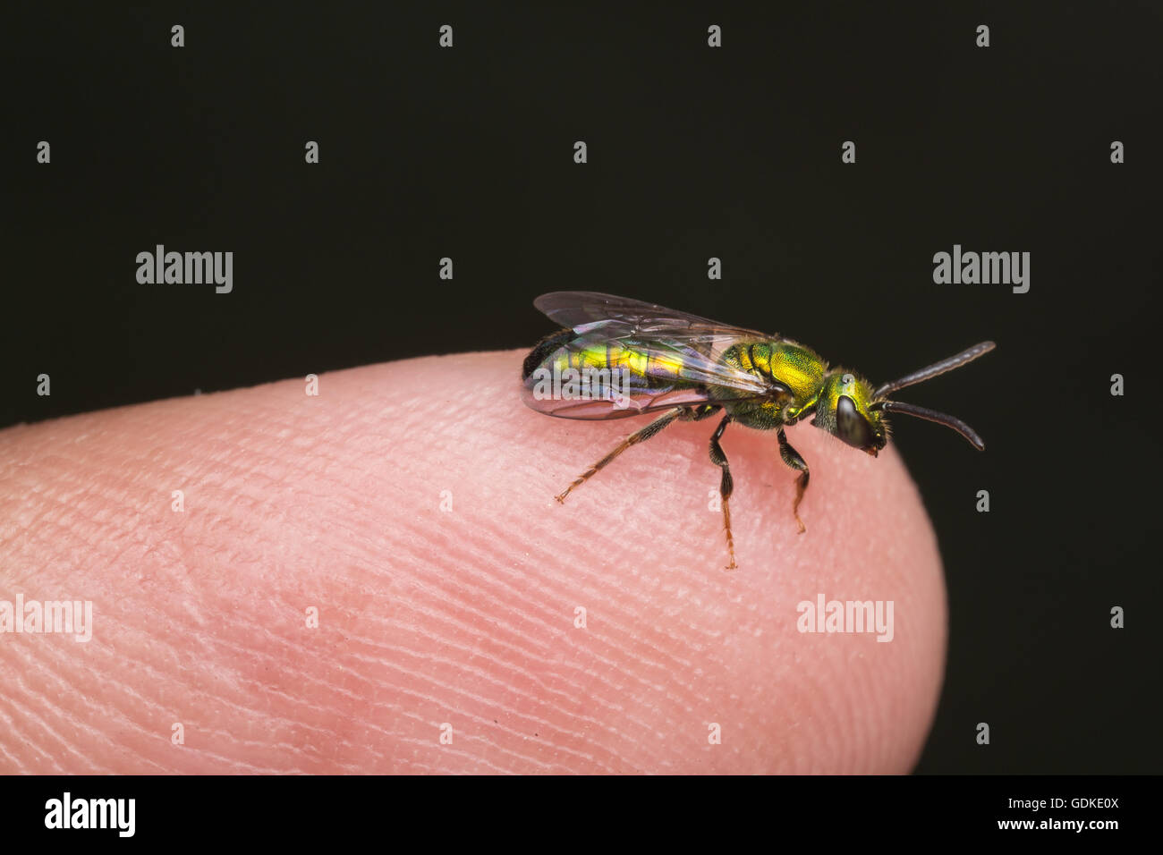 A bright metallic green Sweat Bee (Augochlora pura) stands on the tip of a finger. - Stock Image