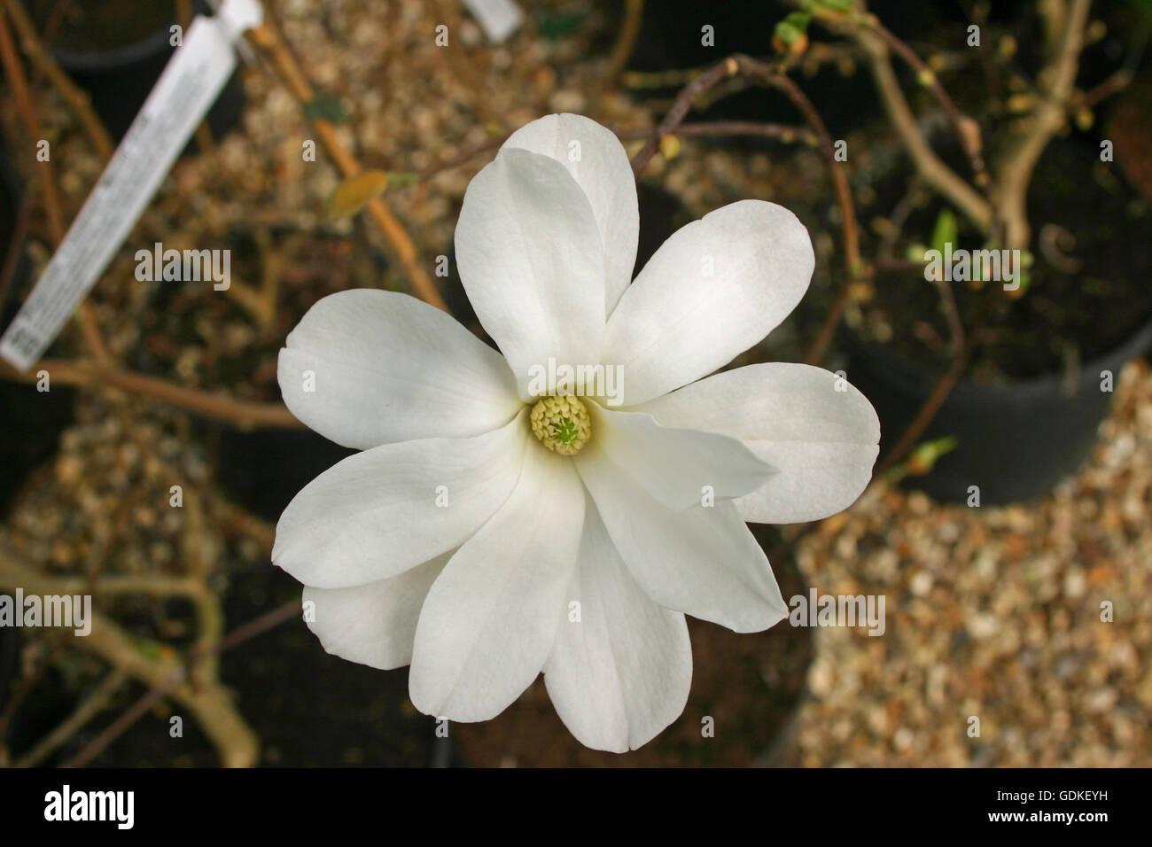 White Magnolia Flower In A Plant Pot Stock Photo 111681573 Alamy