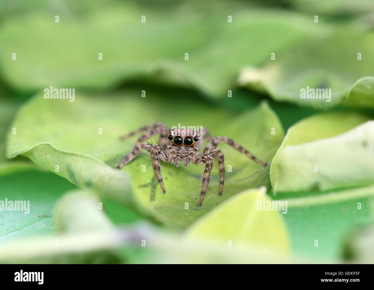 Jumping spider on moringa leaves. - Stock Image