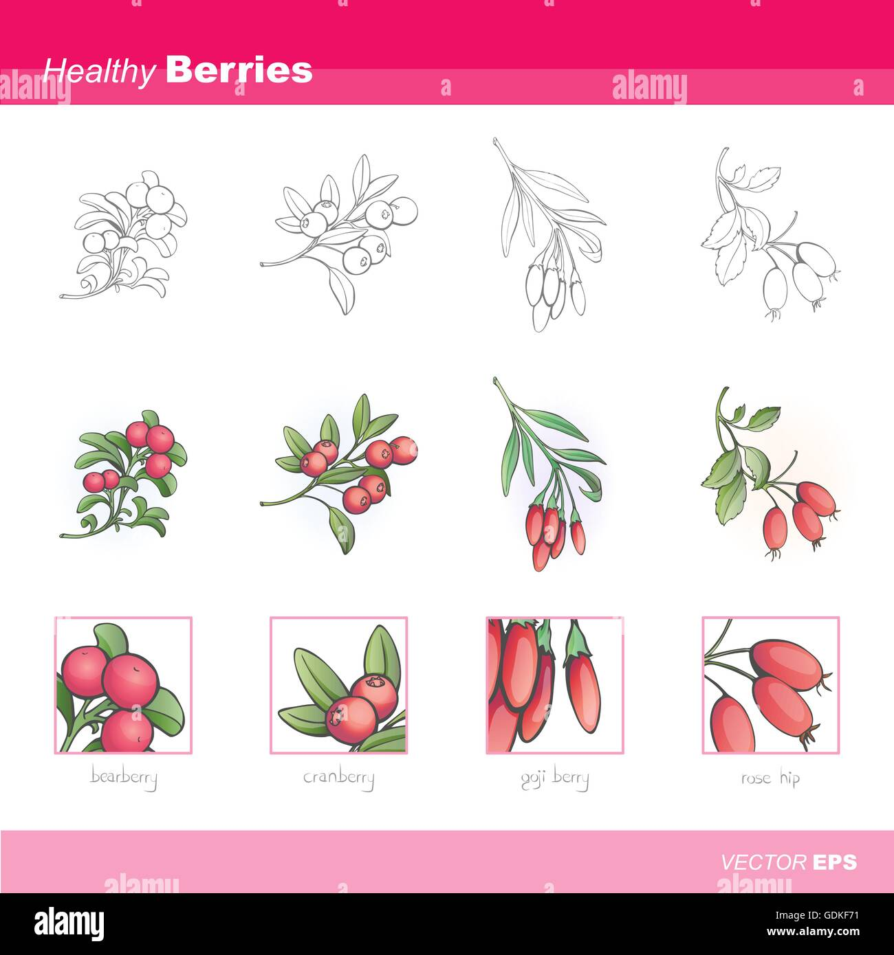 Healthy berries set: gojy, rosehip, cranberry  and bearberry - Stock Vector