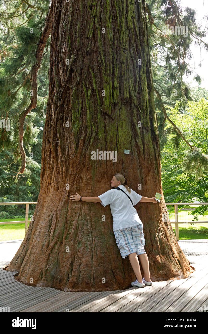 sequoia, Mainau Island, Lake Constance, Baden-Wuerttemberg, Germany Stock Photo