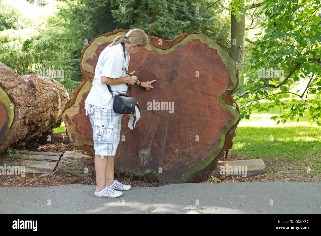 cut sequoia, Mainau Island, Lake Constance, Baden-Wuerttemberg, Germany Stock Photo