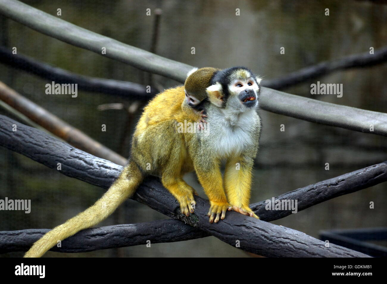 Baby squirrel monkey riding on mama's back at the Lowry Park Zoo in Tampa, Florida, USA - Stock Image