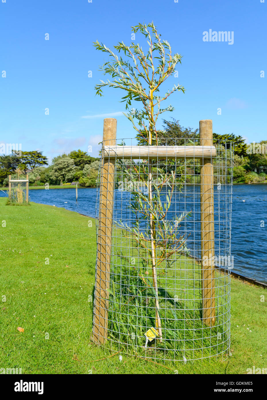Newly planted Weeping Golden Willow tree with protective cage by a lake in a park in the UK. - Stock Image