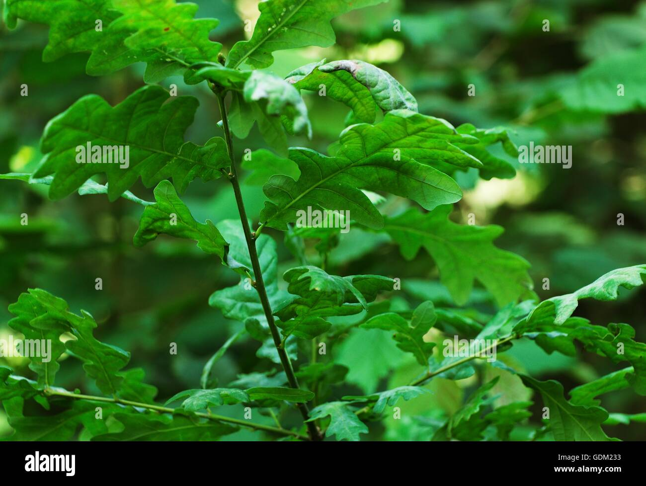 branch of oak leaves with blurred background - Stock Image