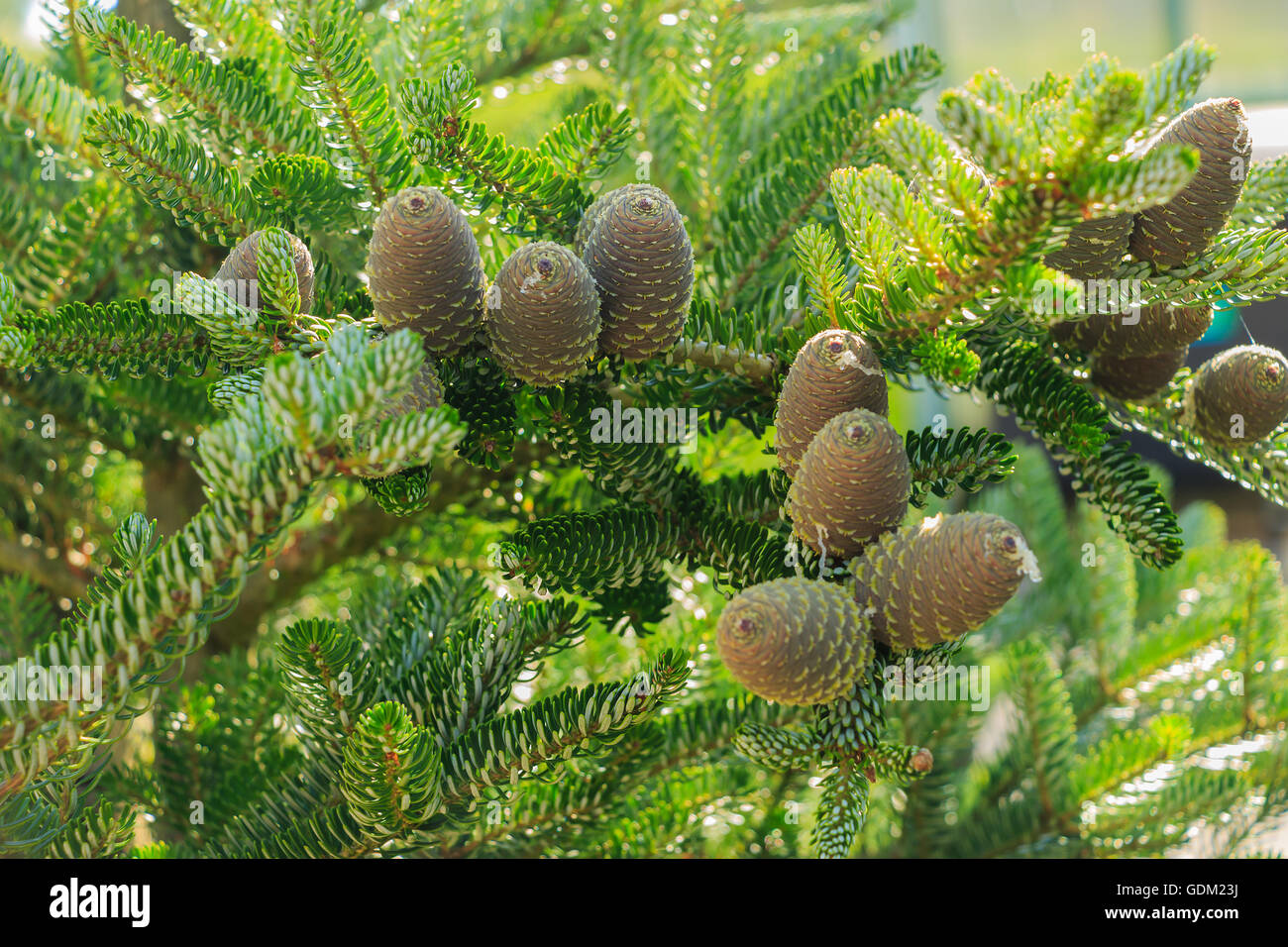 detailed view of pine cones silver - Stock Image