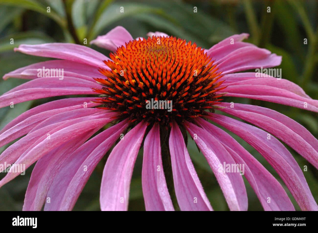 Echinacea purpurea Magnus Stock Photo