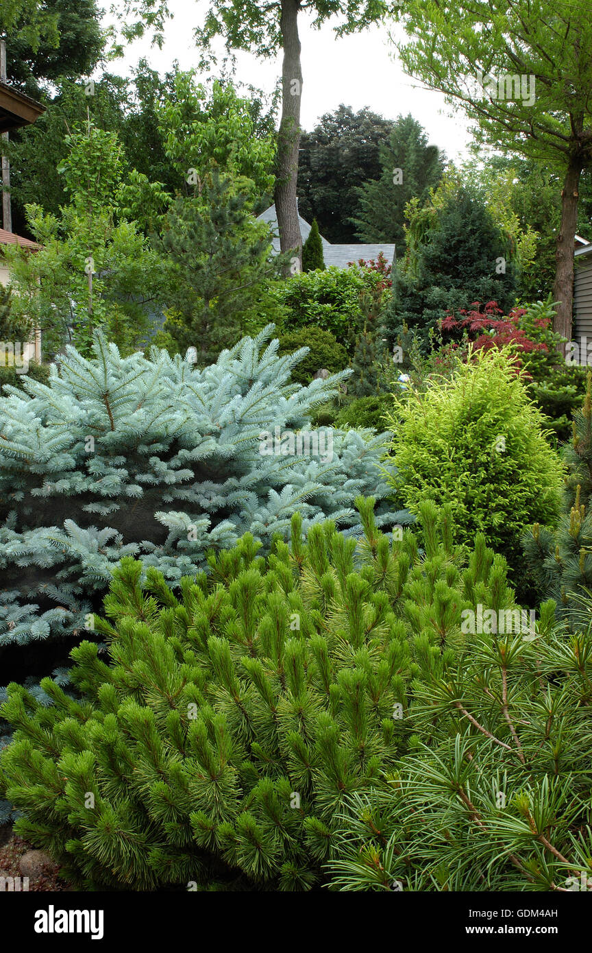 Conifer garden, blue spruce, - Stock Image