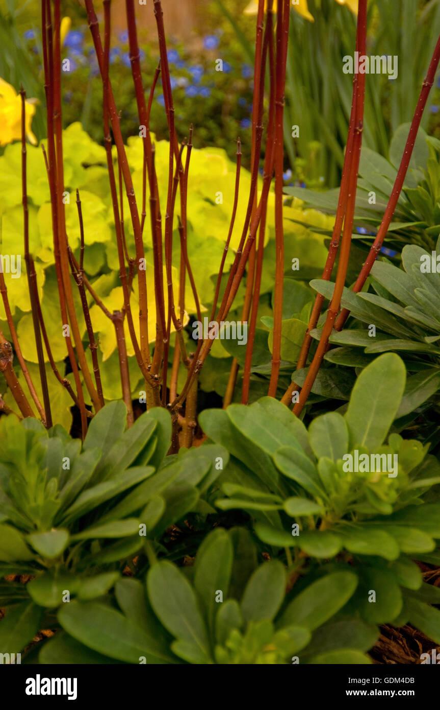 Cornus alba sibirica red stems - Stock Image