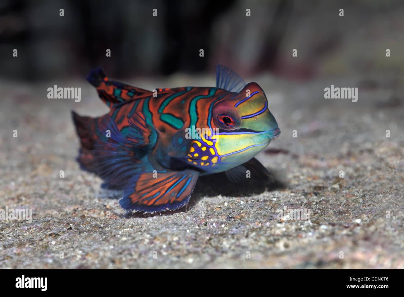 Mandarinfish or mandarin dragone (Synchiropus splendidus), Tukangbesi Achipelago, Wakatobi National Park, Banda - Stock Image