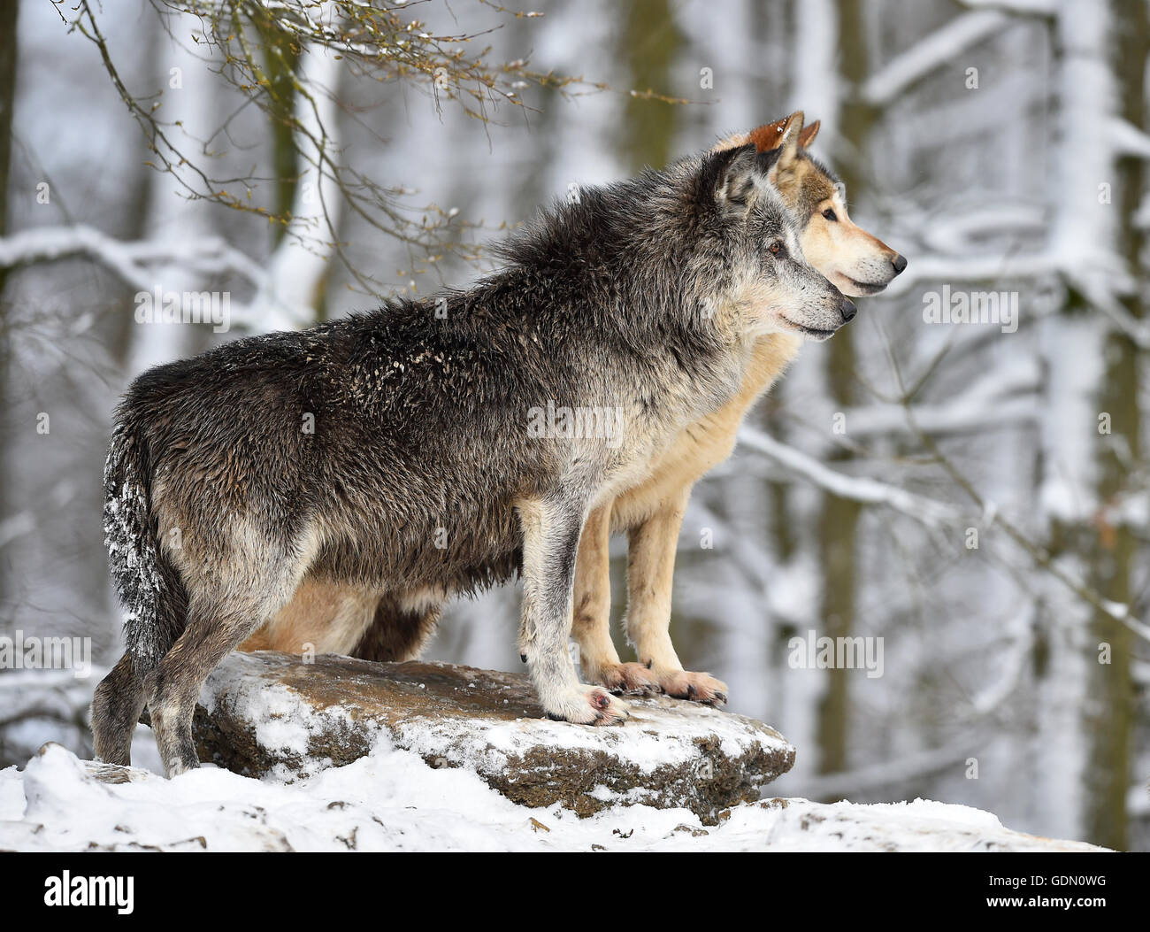 Male and female alpha wolf, alpha wolf, Eastern Wolf, Eastern timber wolf (Canis lupus lycaon) in winter, look out, - Stock Image