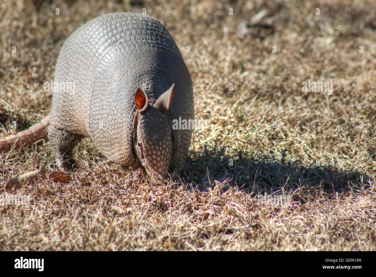 Armadillo looking for food - Stock Image