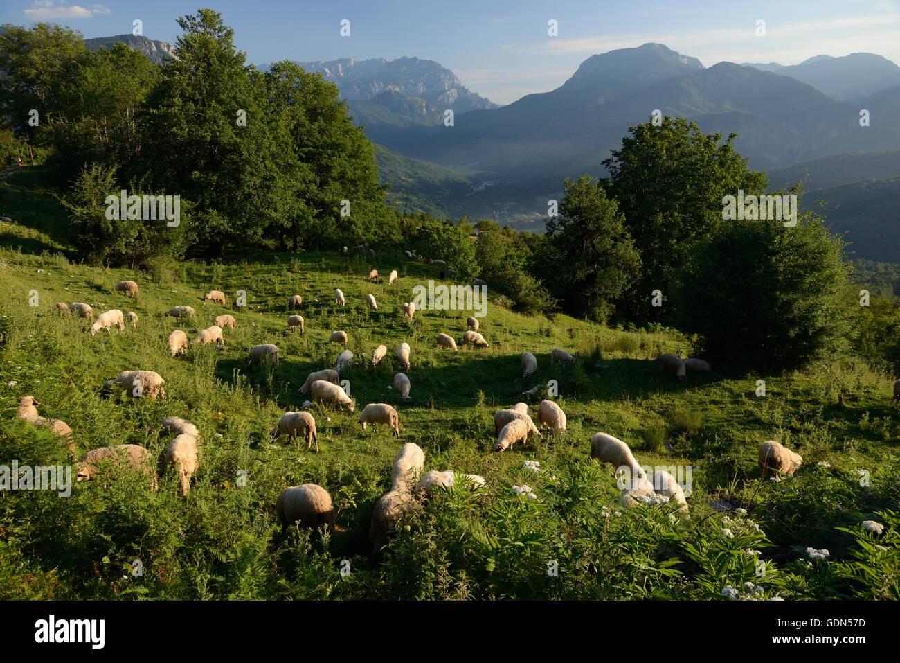 Sheep (Ovis aries) grazing alpine pastureland in Sutjeska National Park, Bosnia and Herzegovina. - Stock Image
